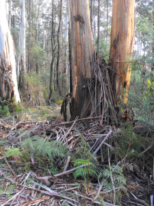 Stringy bark gum trees