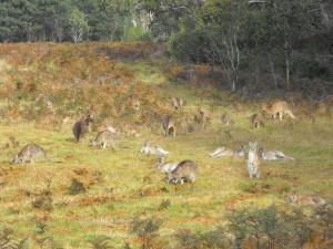 Tons of kangaroos roaming alpine country