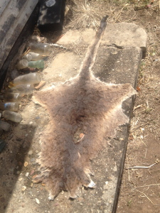 my kangaroo skin drying in the sun
